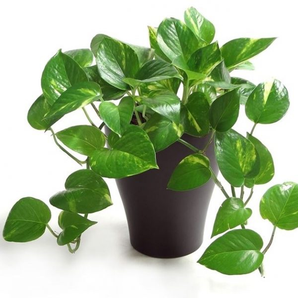 Using Feng Shui Plants In The Workplace